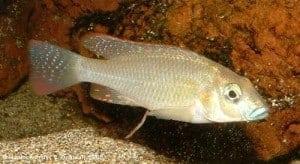 Thoracochromis buysi - Male