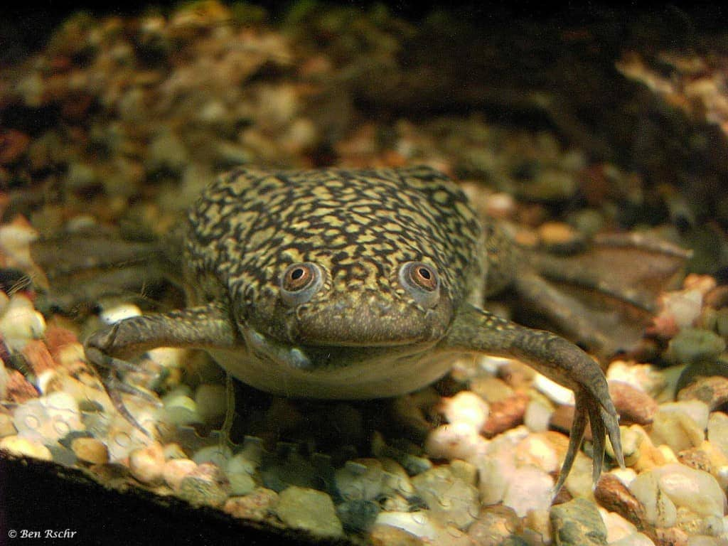 Xenopus laevis - African clawed frog