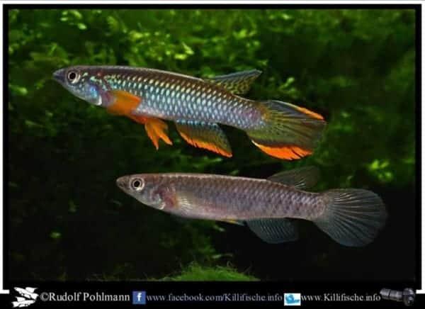 Epiplatys olbrechtsi - Male and Female
