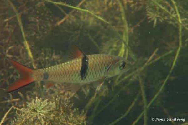 Hampala macrolepidota - Hampala Barb - Juvenile in River Kwai