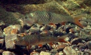 Hampala macrolepidota - Hampala Barb - Adults in an aquarium