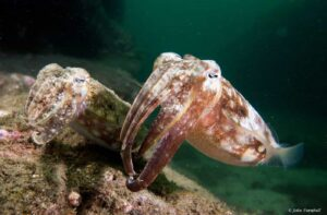 Sepia plangon - Mourning Cuttlefish - Male and female
