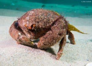 Austrodromidia octodentata - Bristled Sponge Crab