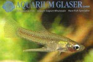 Girardinus falcatus - Male