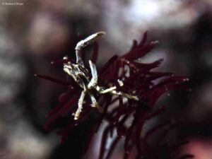 Harrovia elegans - Crinoid Elbow Crab