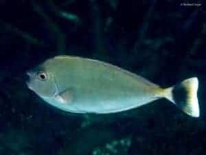 Naso brevirostris - Spotted Unicornfish