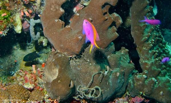 Pseudanthias tuka - Yellowstriped Fairy Basslet - Female