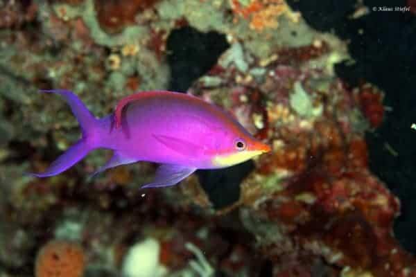 Pseudanthias tuka - Yellowstriped Fairy Basslet - Male