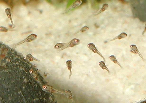 Mikrogeophagus ramirezi fry close-up