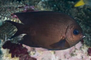 Acanthochromis polyacanthus - Spiny Chromis