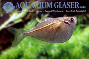 Gasteropelecus maculatus - Spotted Hatchetfish