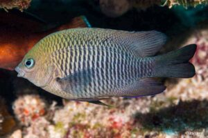 Stegastes diencaeus - Longfin Damselfish