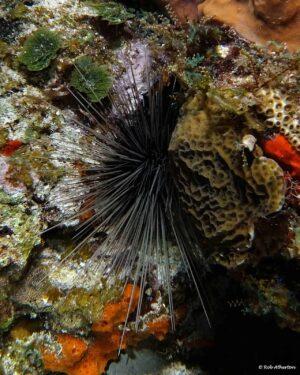 Diadema antillarum - Long-spined Sea Urchin