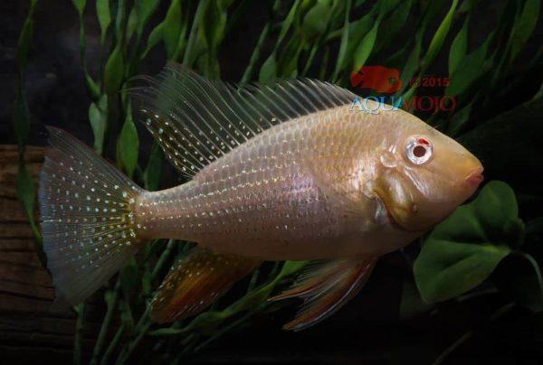 Acarichthys heckelii - Albino