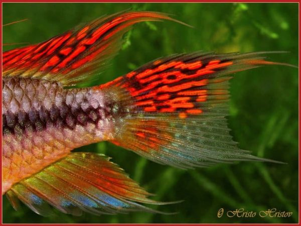 Apistogramma cacatuoides -Super Red - Tail