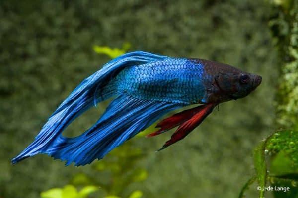 Betta splendens - Blue male