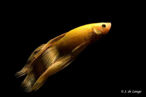 Betta splendens - Yellow male