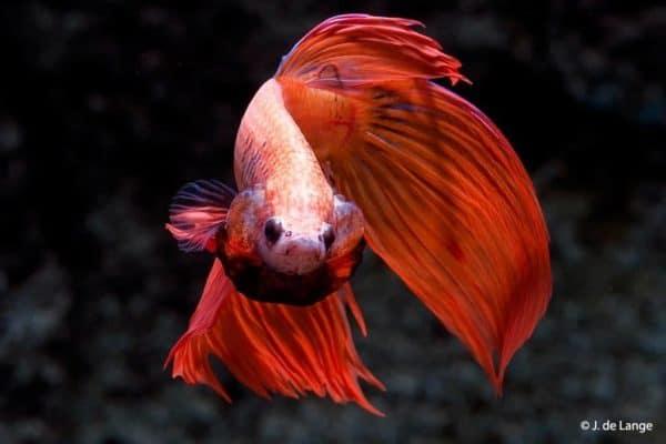 Betta splendens - Red male