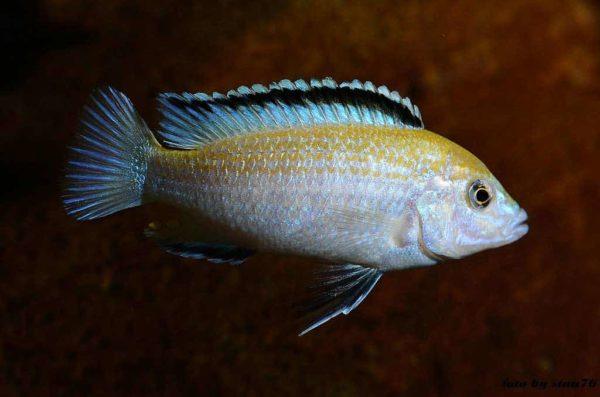 Labidochromis caeruleus - Nkhata Bay - Male - 9 centimeters