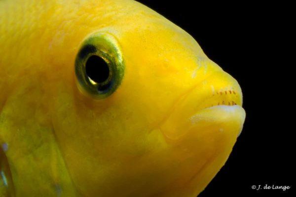 Labidochromis caeruleus - Close up