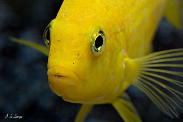 Labidochromis caeruleus - Yellow - Close up of the head