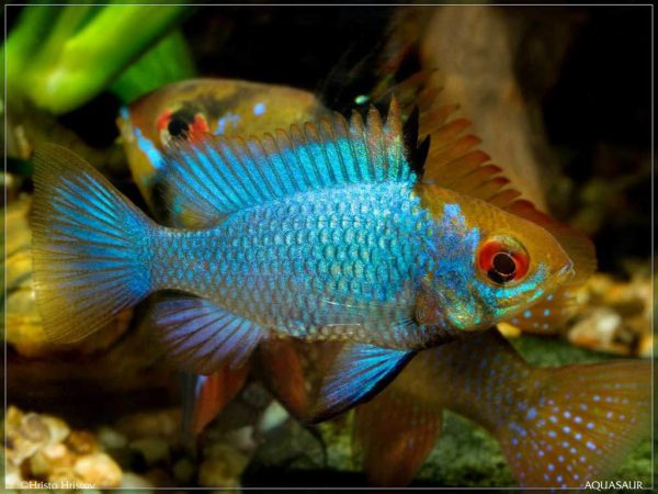 Mikrogeophagus-ramirezi-Electric-Blue