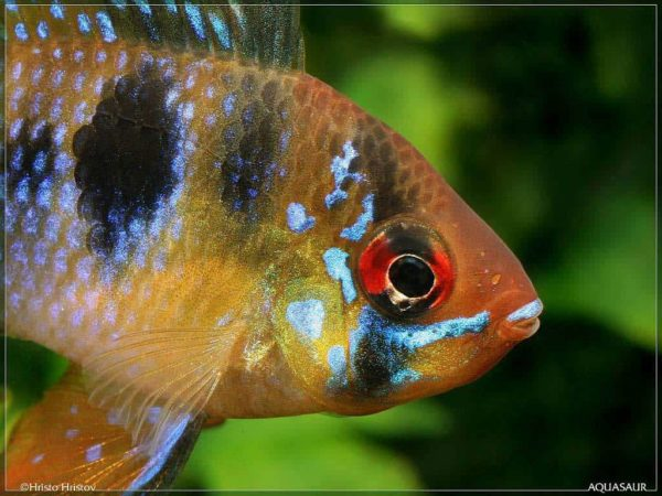 Mikrogeophagus-ramirezi-close-up
