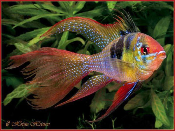 Mikrogeophagus-ramirezi-longfin