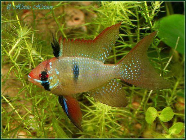 Mikrogeophagus-ramirezi2