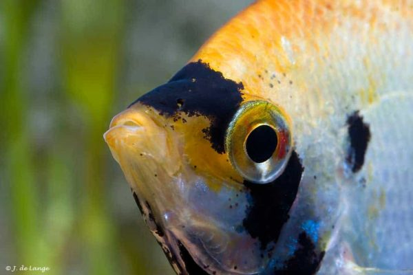 Pterophyllum scalare - Angelfish - Marbled - Close up