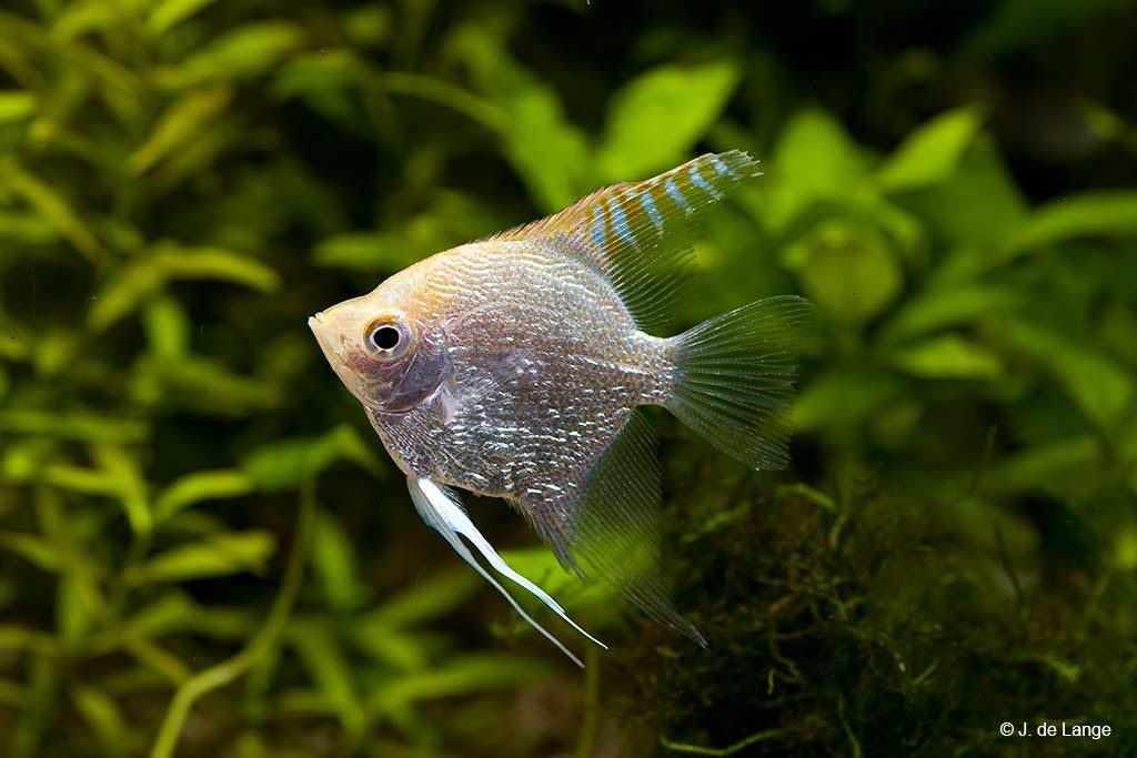 Pterophyllum scalare - Angelfish - Silver
