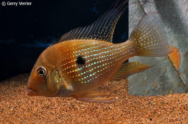 Acarichthys heckelii - Female