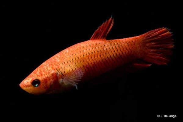 Betta splendens - Red female
