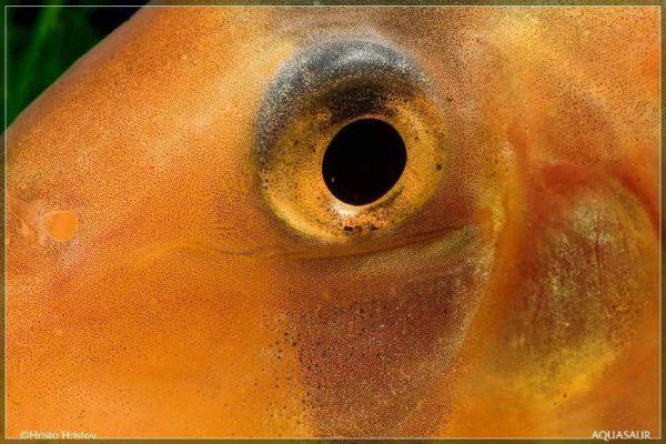Chromobotia macracanthus eye