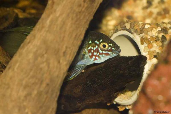 Apistogramma borellii - Opal male guards the nest