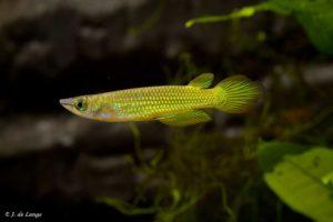 Aplocheilus