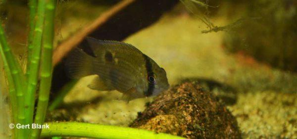 Cleithracara maronii - Keyhole Cichlid