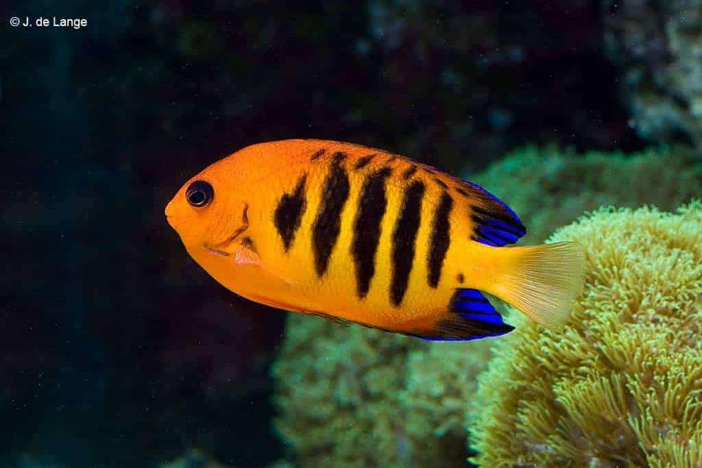 Centropyge loriculus - Flame Angelfish