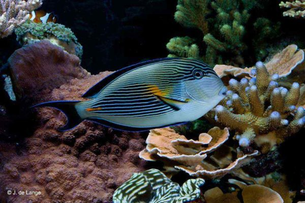 Acanthurus sohal - Sohal Surgeonfish