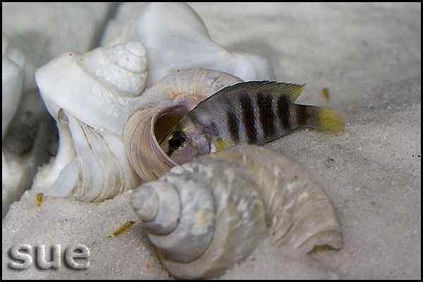 Altolamprologus sp. Compressiceps Shell - Cape Kachese - vrouw met jongen