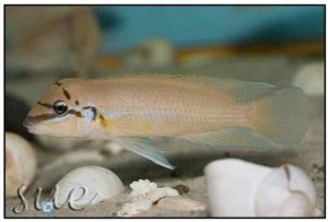 Chalinochromis brichardi Black Mask