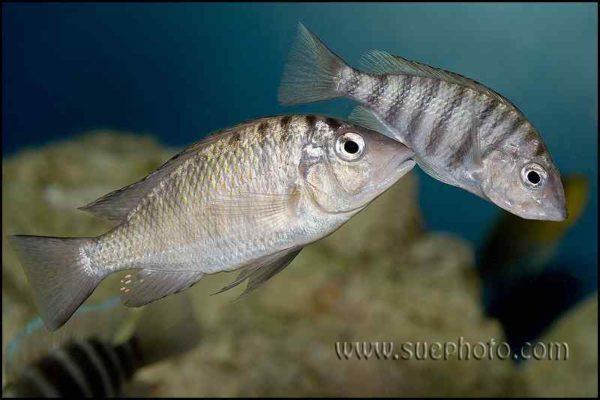 Gnathochromis pfefferi - Chaitika - Courting