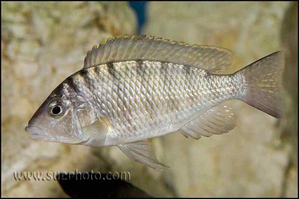 Gnathochromis pfefferi - Chaitika - Male