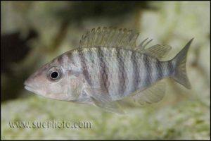 Gnathochromis pfefferi - Chaitika - Vrouw met gescheurde rugvin