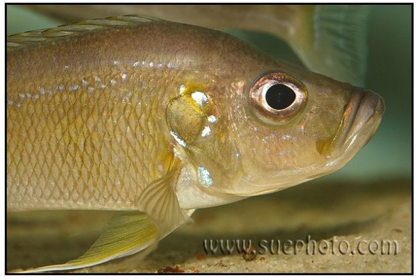 Greenwoodochromis belcrossi - Chituta Bay - Close up