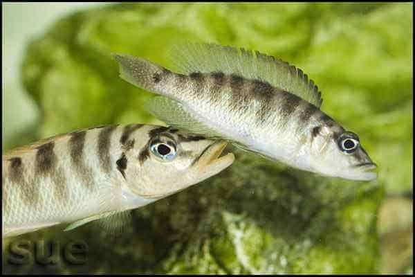 Neolamprologus fasciatus - Mating dance