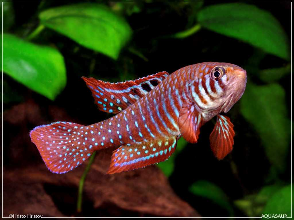 Simpsonichthys santanae man