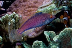 Cirrhilabrus lineatus - Purplelined Wrasse - Female
