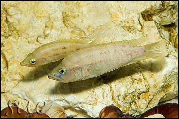 Neolamprologus prochilus - Pair