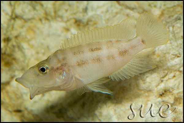 Neolamprologus prochilus - Vrouw